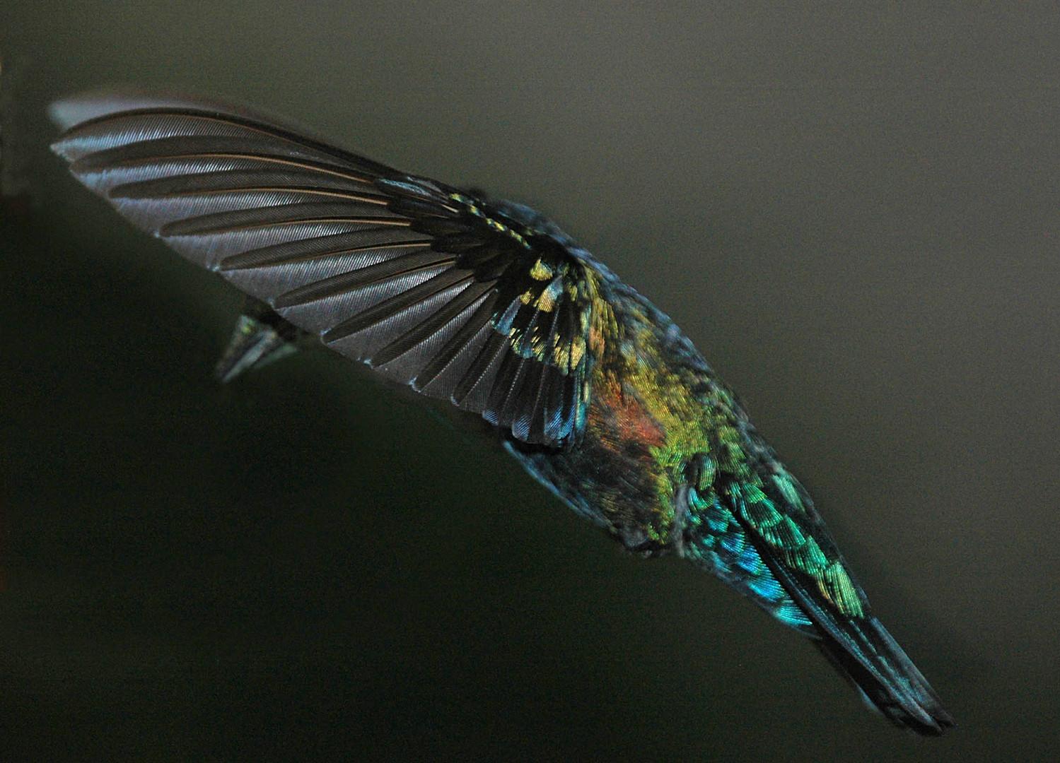 colibri falle vert guadeloupe