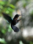 colibri- Guadekloupe