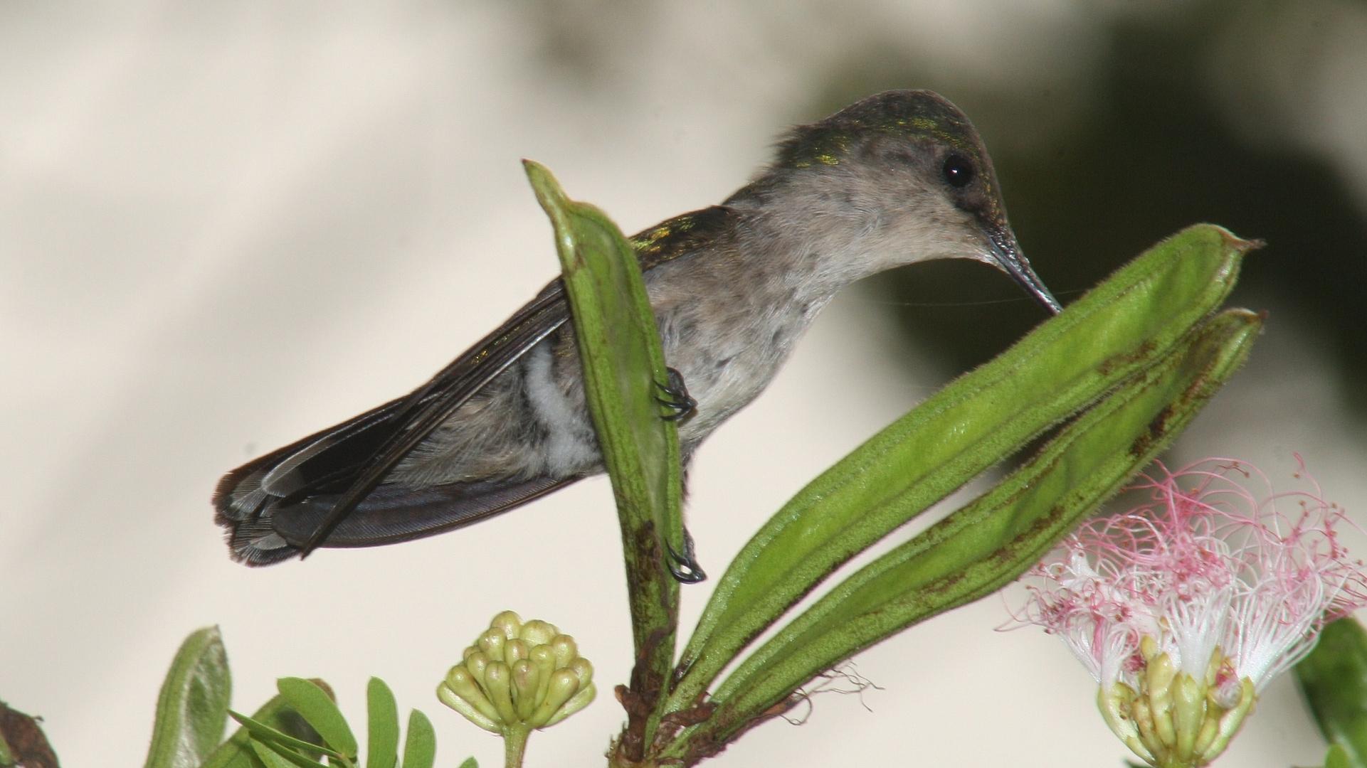 colibri huppé femelle