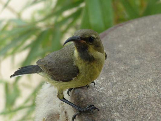 colibri sur djembe