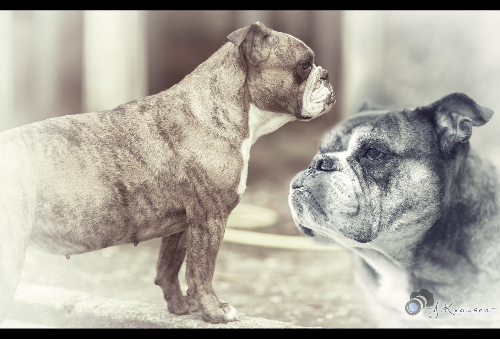 collage Bulldoggen