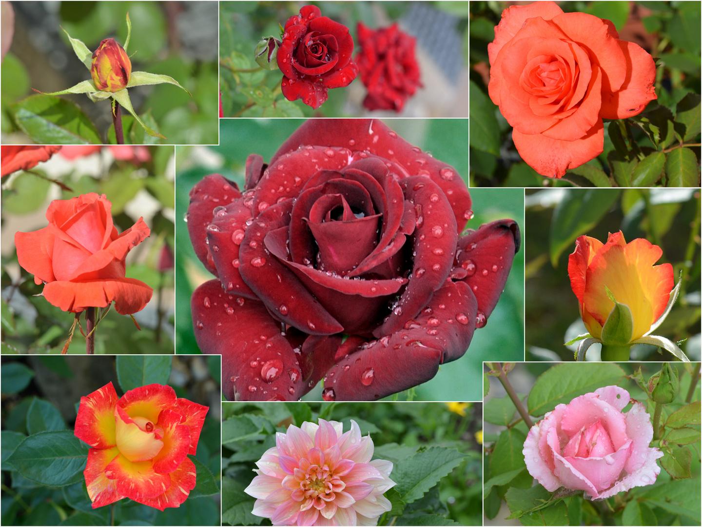 Collage mit Rosen