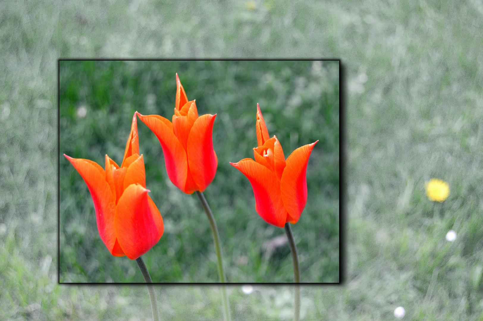 Collage mit Tulpen