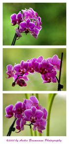 Collage Orchidee