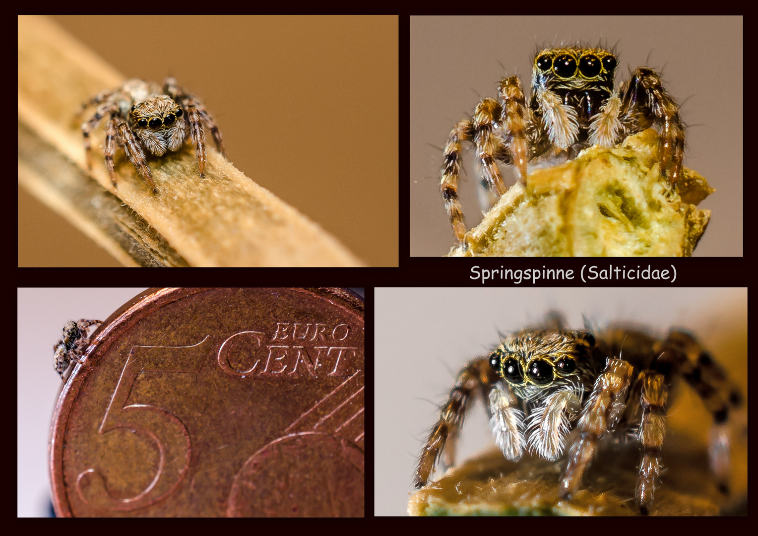 Collage - Springspinne (Salticidae)