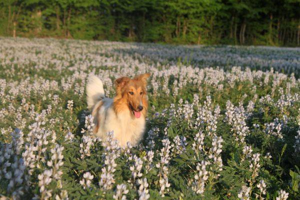 colley dans les lupins