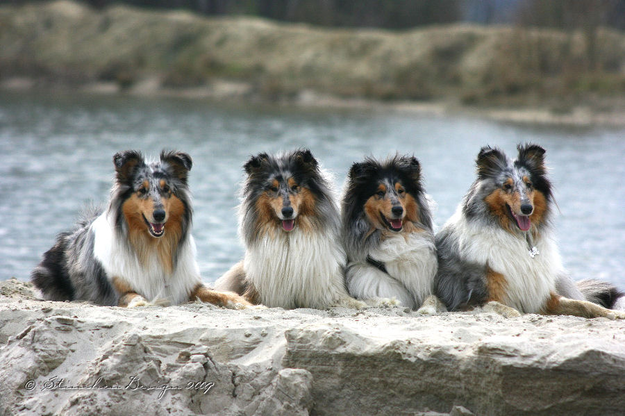 Collie-Fotoshooting (1)