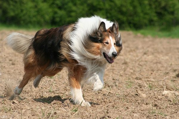 Collie in Action