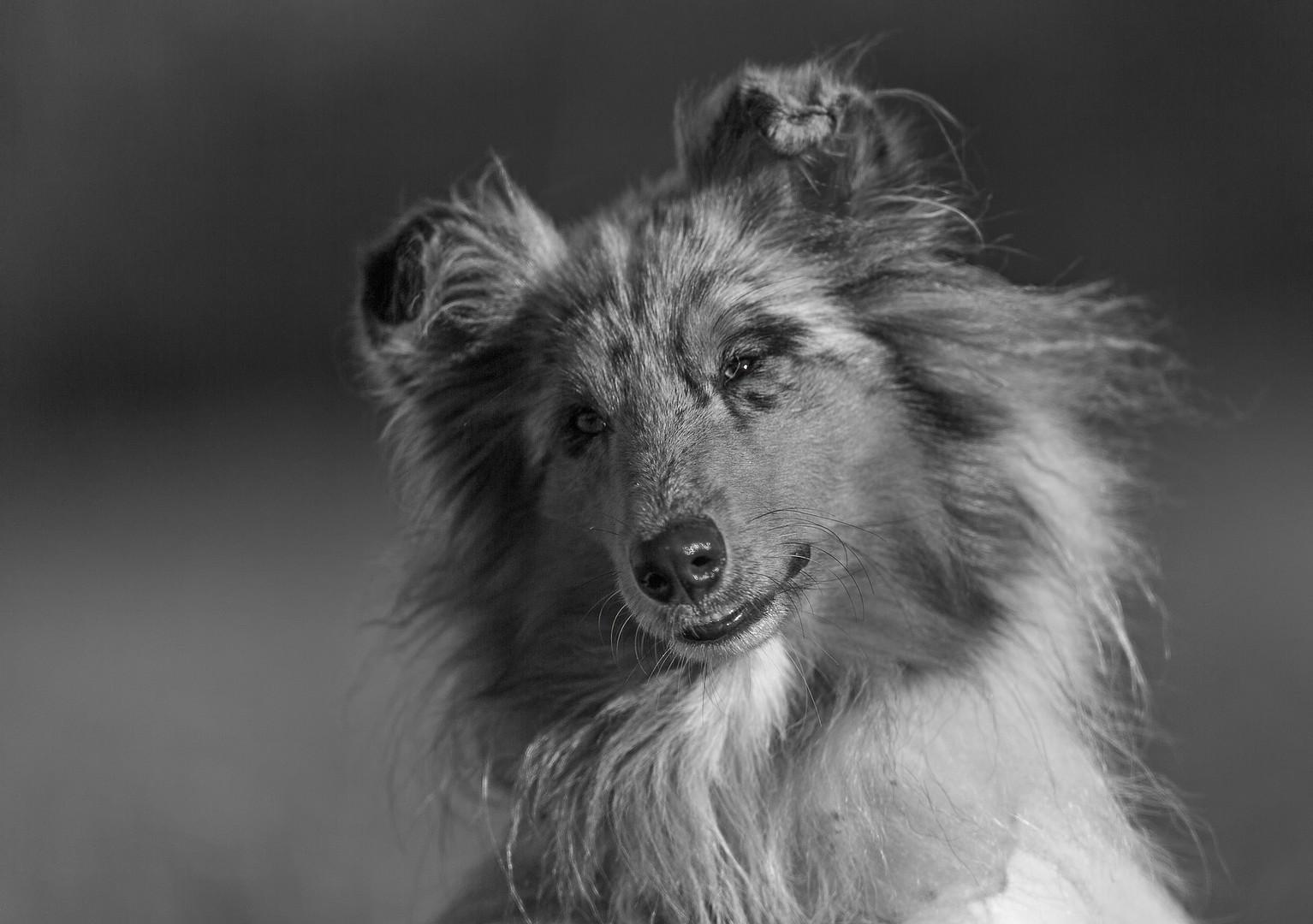 Collie Portrait schwarz weiß