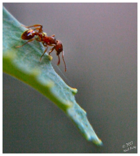 Collimated Ant