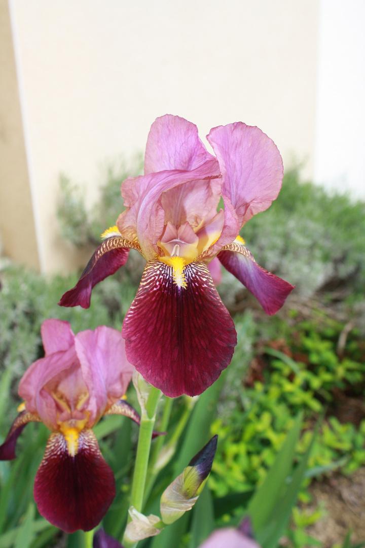 Colo iris ation