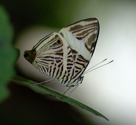 Colobura dircoîdes Costa Rica