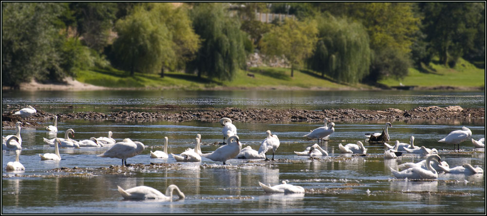 Colonie de cygnes sur la Dordogne
