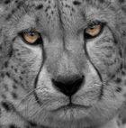 Color-Key-Gepard
