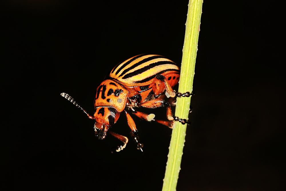 ___Colorado beetle___