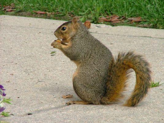 Colorado Fuchshörnchen