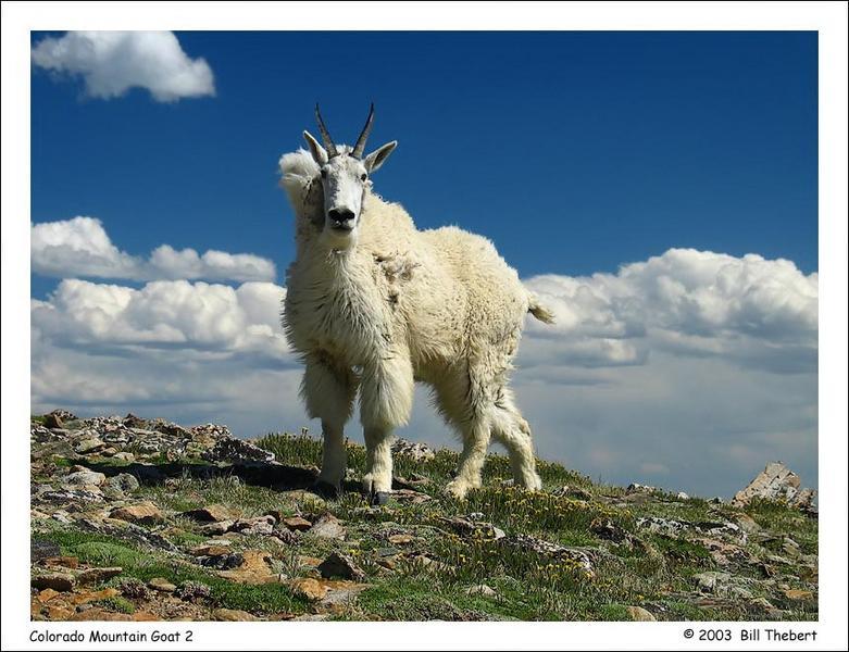 Colorado Mountain Goat 2