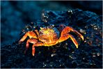 [ Colorful Red Rock Crab ]