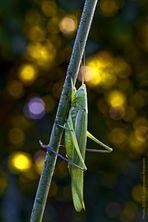 Colori d'autunno  (Ruspolia nitidula)