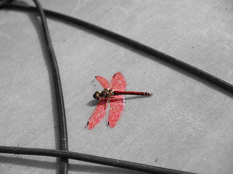 Colorkey Libelle