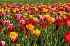 Colour Overflow oder auch Tulpenmeer :-)