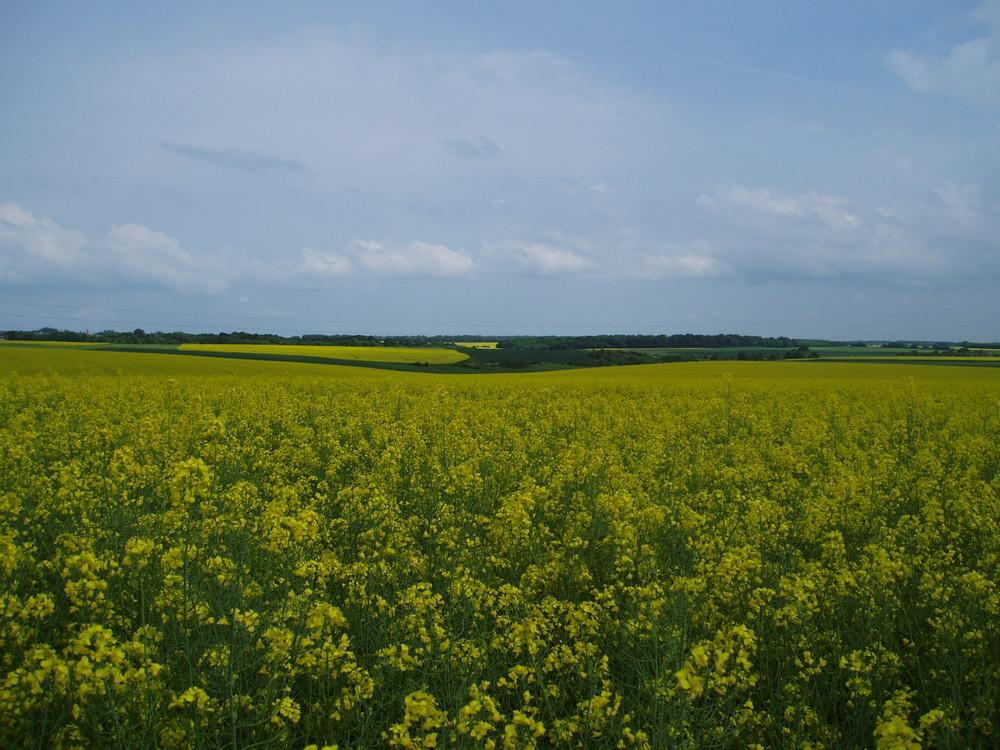 """""""Colza"""" ....immensità dipinte di giallo....."""
