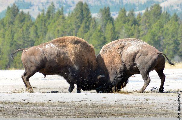Combat de bison au Yellowstone National Park