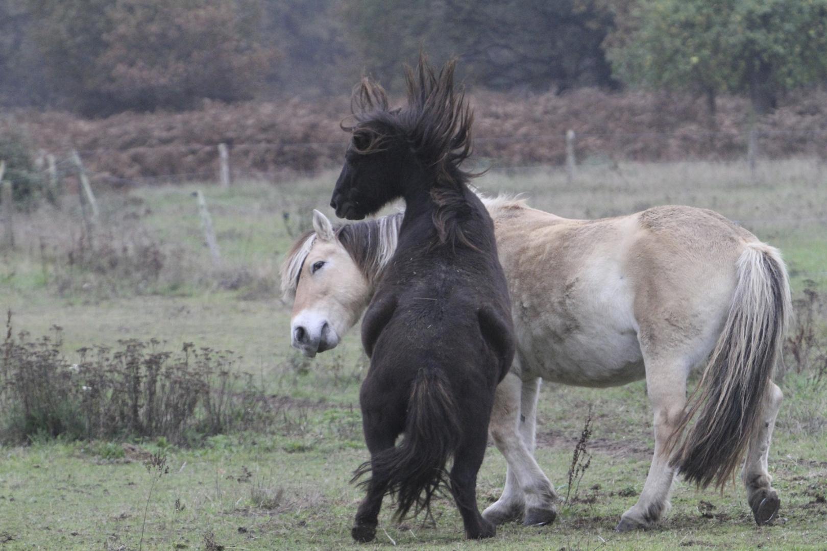 combat de chavaux