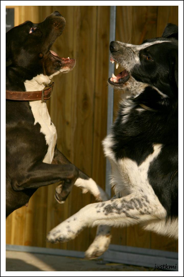 Combat de chiens