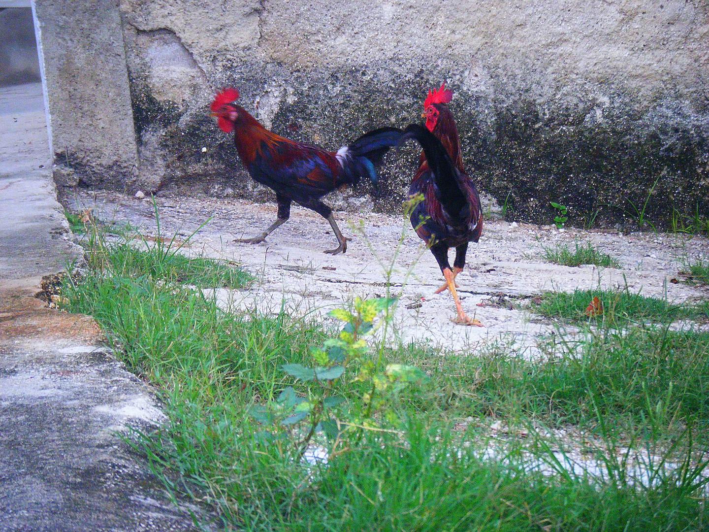 combat de coq
