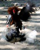 Combattimento di galli.