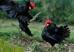 combattimento tra galli