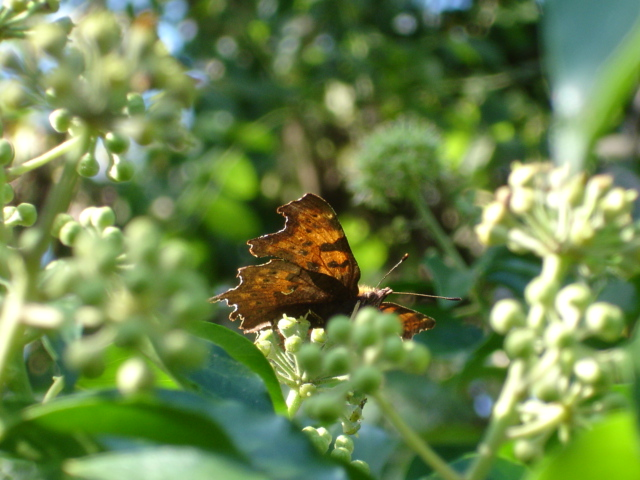 Comma, in Bucks.