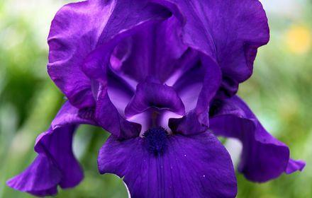 Macro Iris