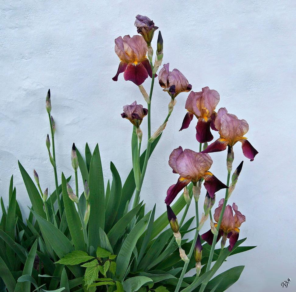 Comme une poésie murale.... les iris