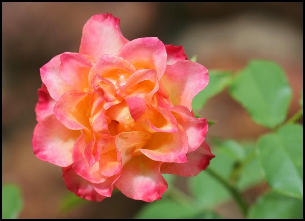 Comme une rose........
