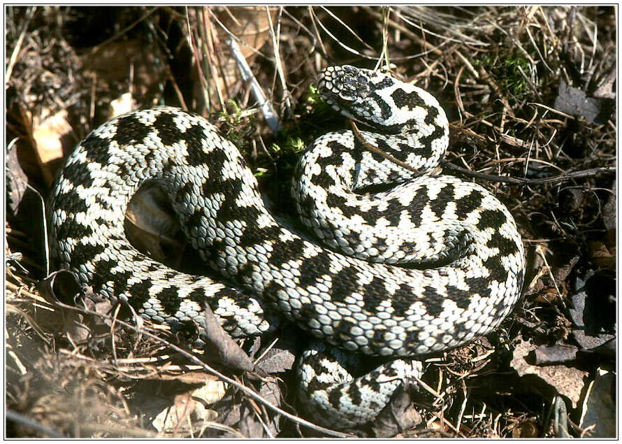 Common Adder, Male