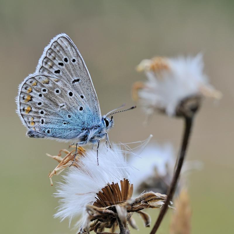 *common blue*