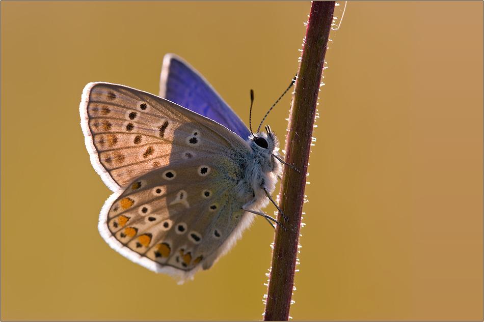~Common Blue~