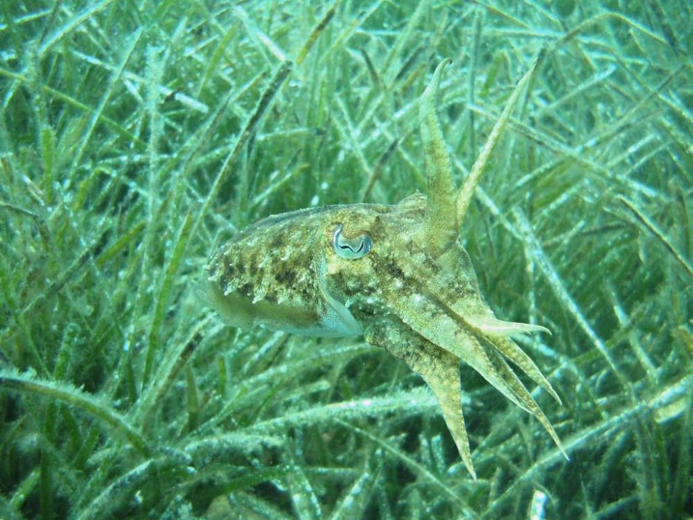 Common cuttle fish