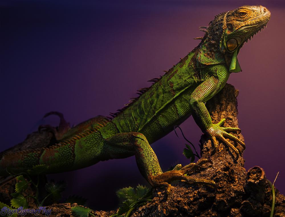 Common iguana goes majestic