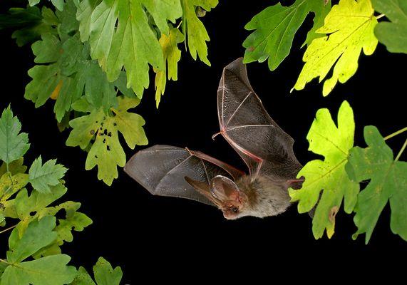 Common long-eard bat (Plecotus auritus) 2