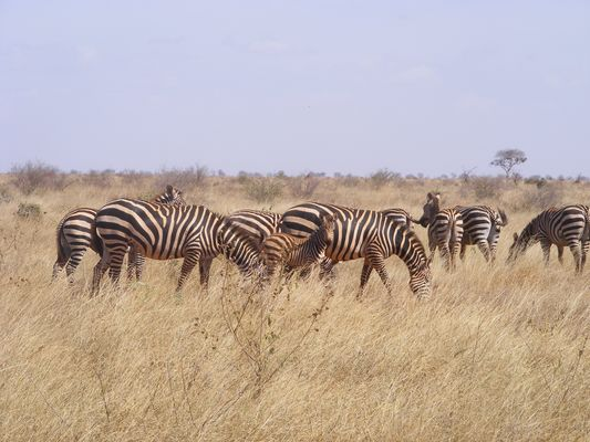 Common Zebras in Tsavo east