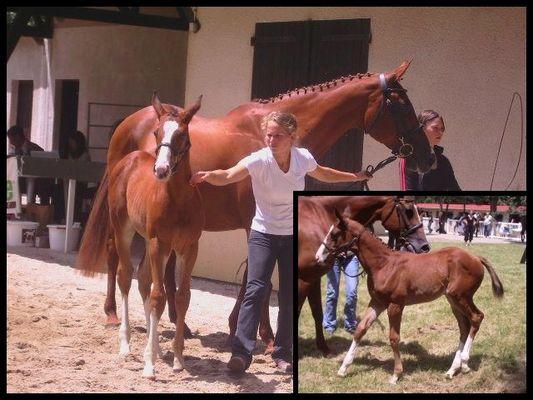 Concours d'élevage poulinières suitées anglo-arabe