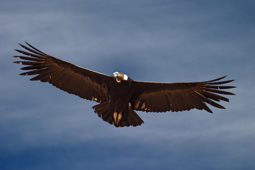 Condor dans le canyon de la Colca, Pérou