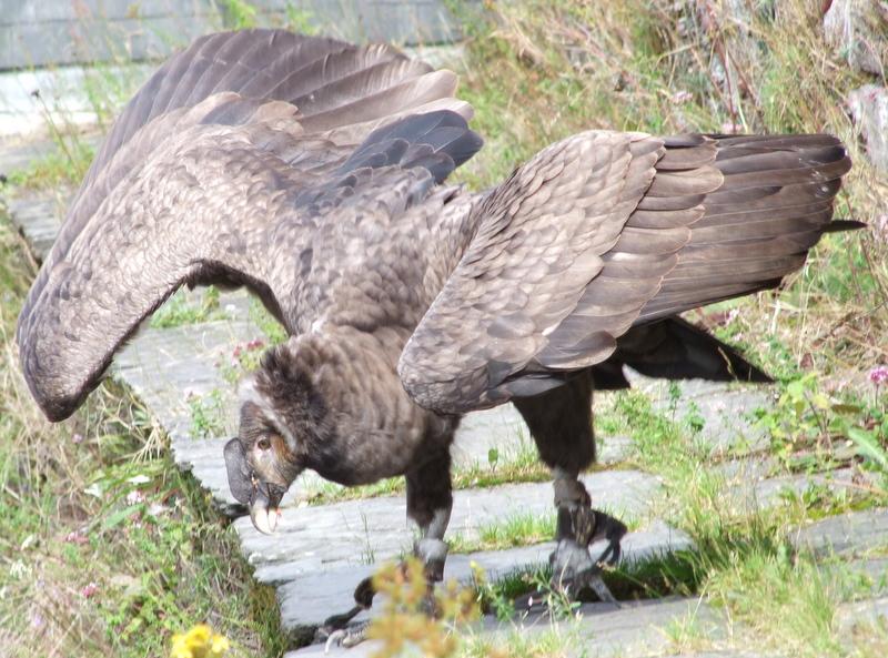 Condor de Andes