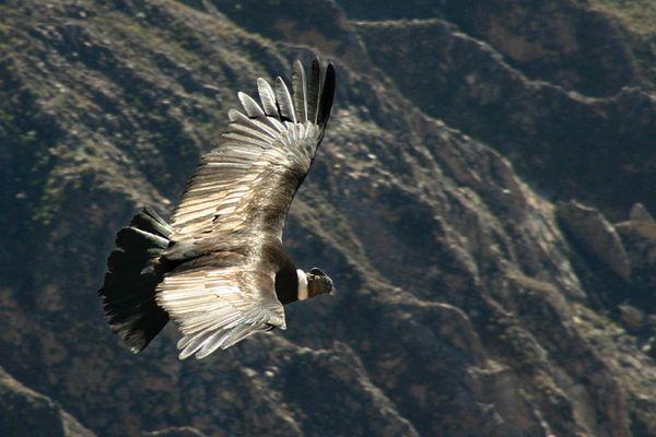 Condor im Canyon de Colca - Peru