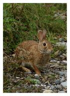 Coniglietto selvatico