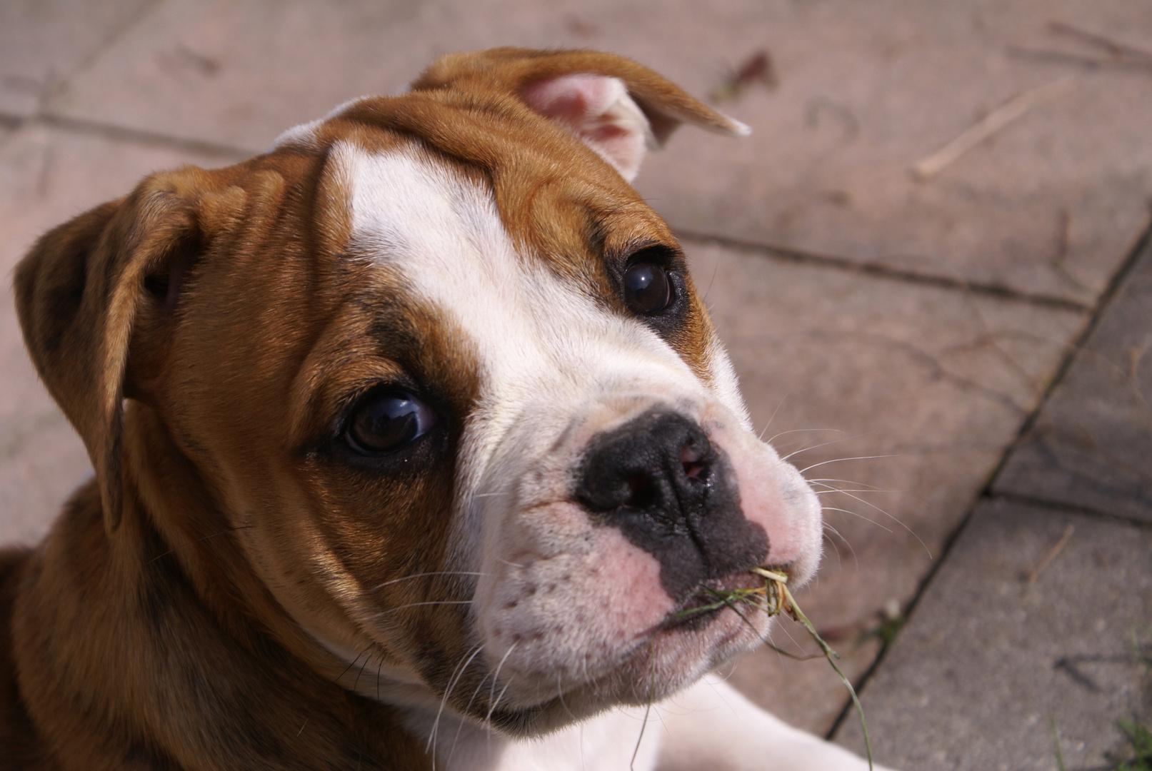 Continantal Bulldog-Welpe