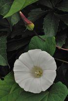Convolvulacea - Calystegia sepium